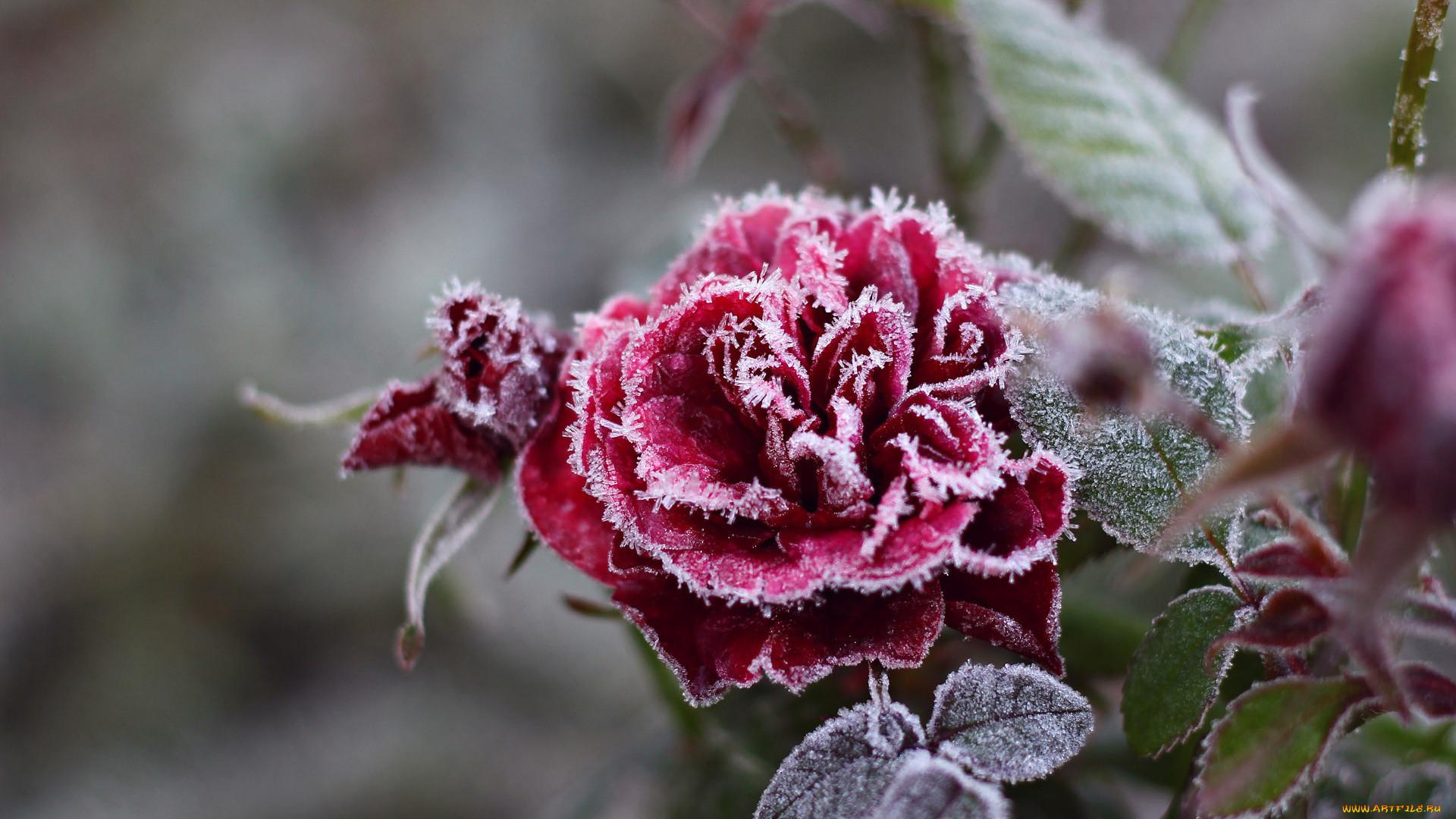 Обои цветок, цветы, иней, обои, Мороз. Макро foto 13